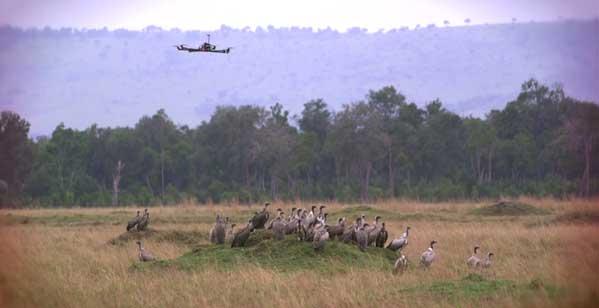 Un drone dans la savane